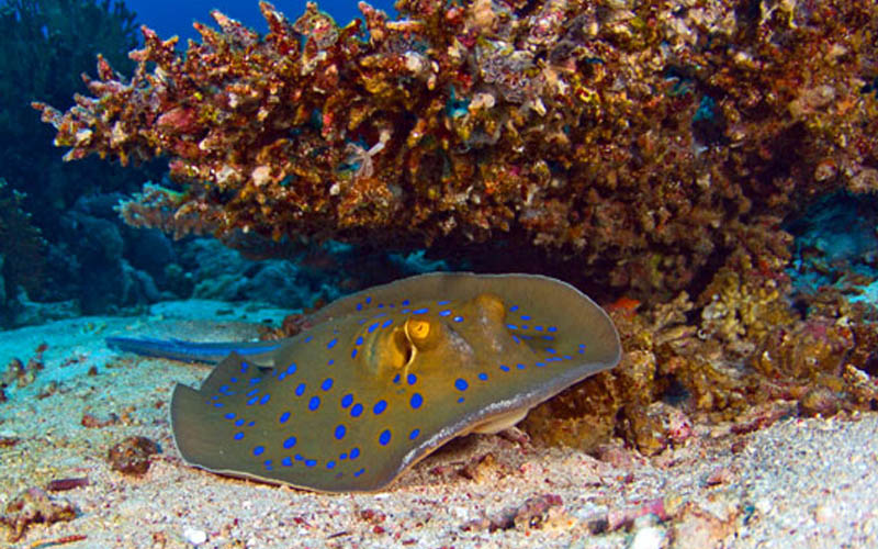 The Bluespotted Ribbontail Stingray